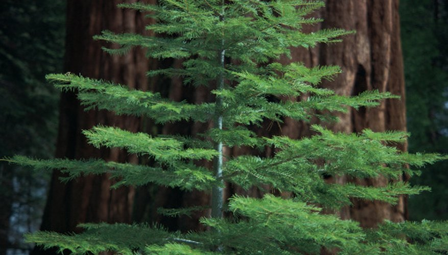 Dawn redwood trees are much smaller than giant sequoias but have the same characteristic reddish bark.