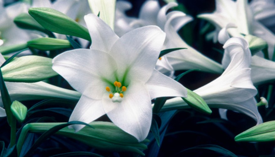 Easter lilies are commonly seen in stores during the spring months.