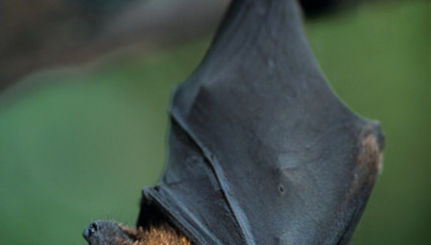 Fruit bats often have brown fur.