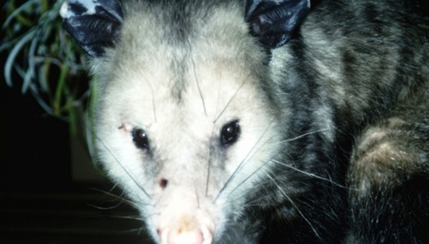 Look for possums in the evening as they are nocturnal animals.