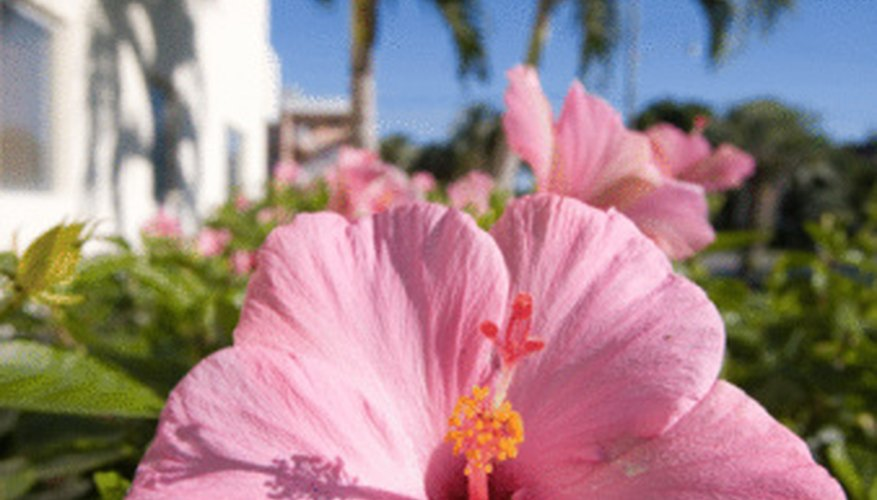A large number of pests afflict the hibiscus.