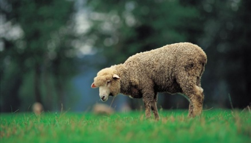 Today's sheep has undergone many adaptations from its earlier ancestors.