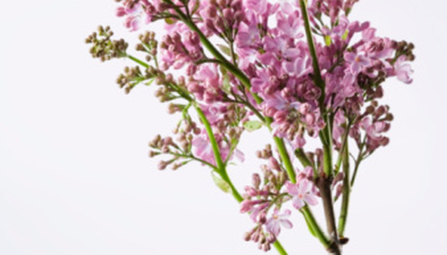 Lilac flowers grow on a tall stalk.