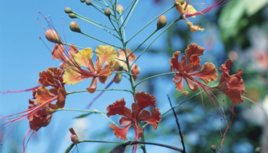Flower spike of the dwarf poinciana.