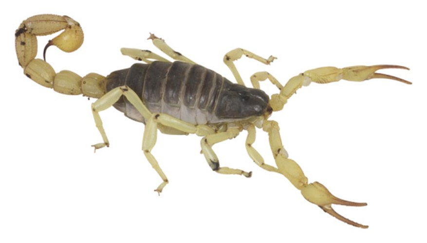 More than 80 species of scorpions live in the United States.