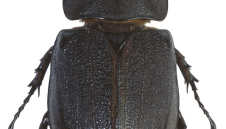 Washington is home to several beetle species.