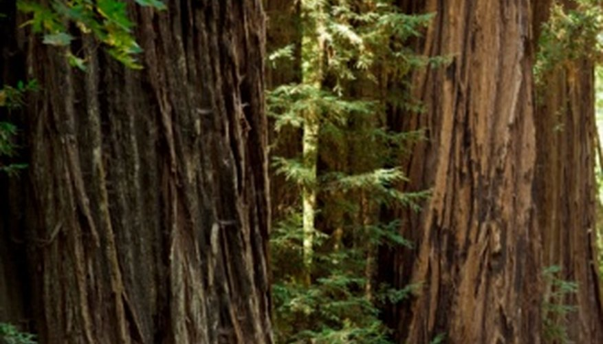 Redwoods can reach heights over 300 feet.