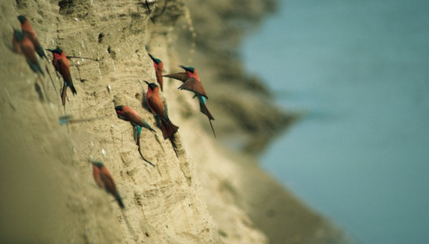 These birds build their nests in the face of a cliff.