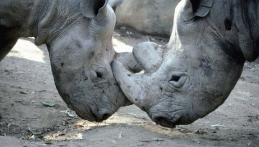 Rhinoceroses use their horns to push and threaten.