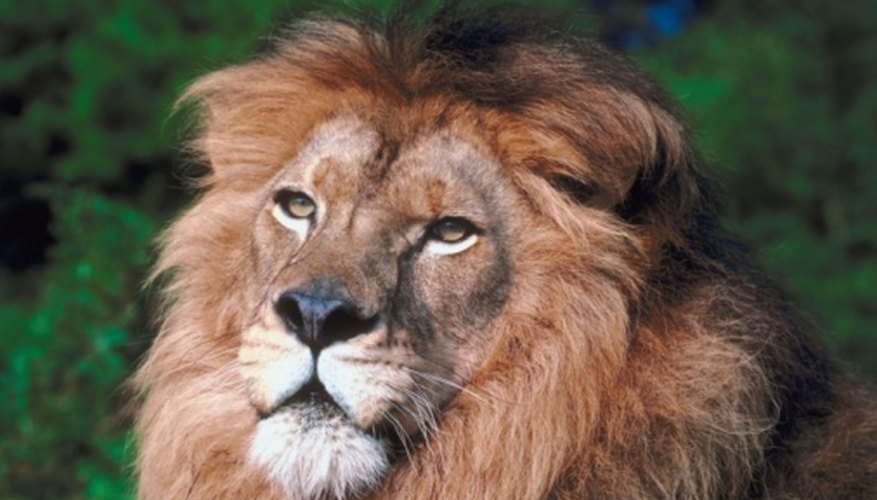 The African lion is the most well known lion subspecies.