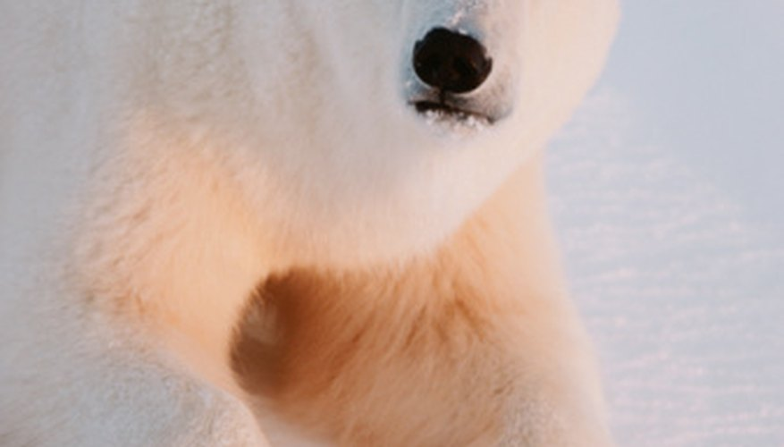 A male polar bear can weigh up to 1,400 pounds.