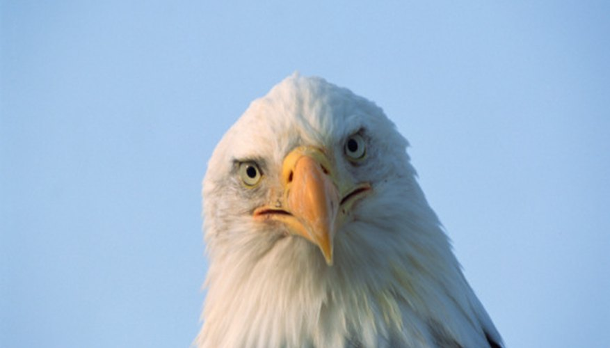 Bald eagles reside in deciduous forests.