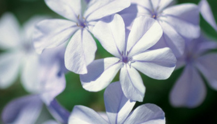 The plumbago is sometimes known as the sky flower due to its blue color blooms.
