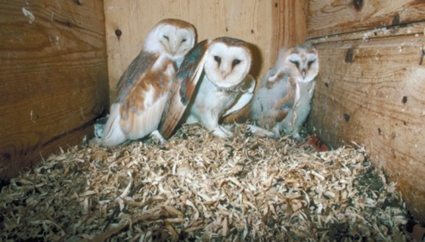 Barn owls are so called because of their penchant for nesting in man-made structures such as barns.