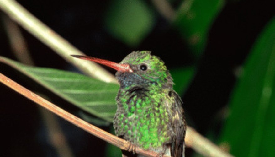 Hummingbirds Eat Only Nectar And Insects