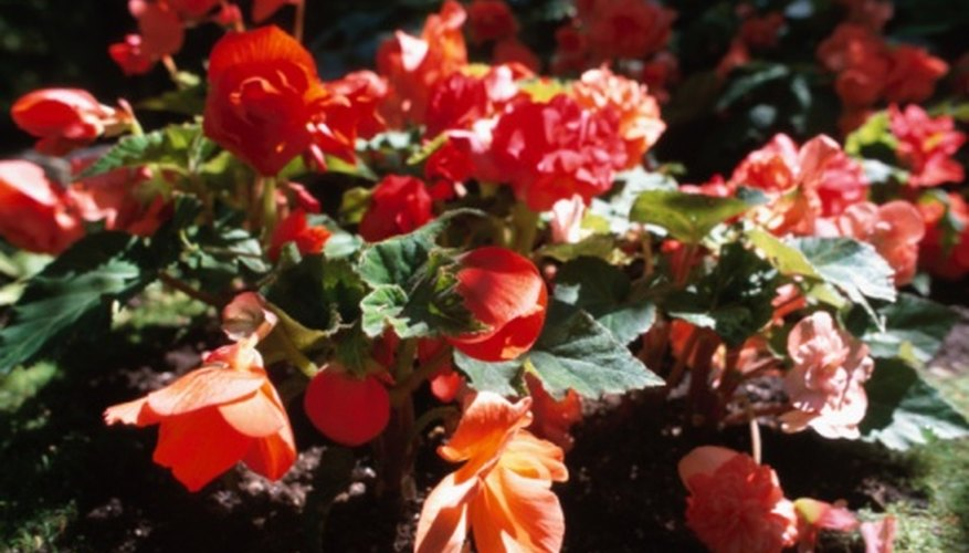 Red begonias are perennials in the southernmost U.S. states.