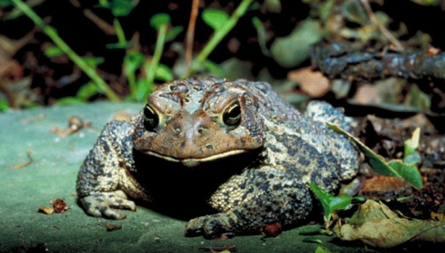A toad has bumpy warts covering its body.