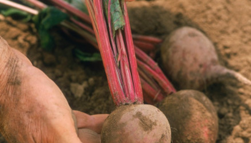 Beets are relatively easy to grow, take up little garden space and are a good source of iron and vitamins