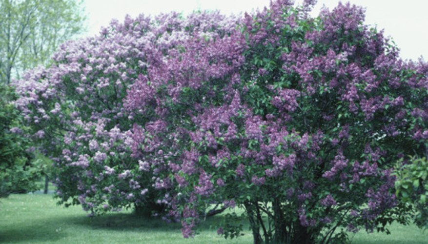 Large, well-established lilac trunks can be exhausting to remove when the shrub dies.