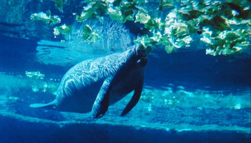 Manatees are known for their large size and gentle disposition.