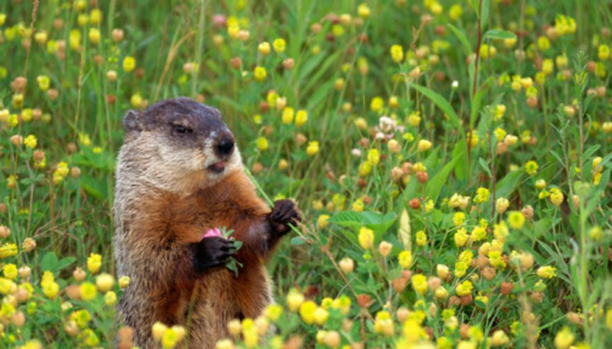 Groundhog forages for food.