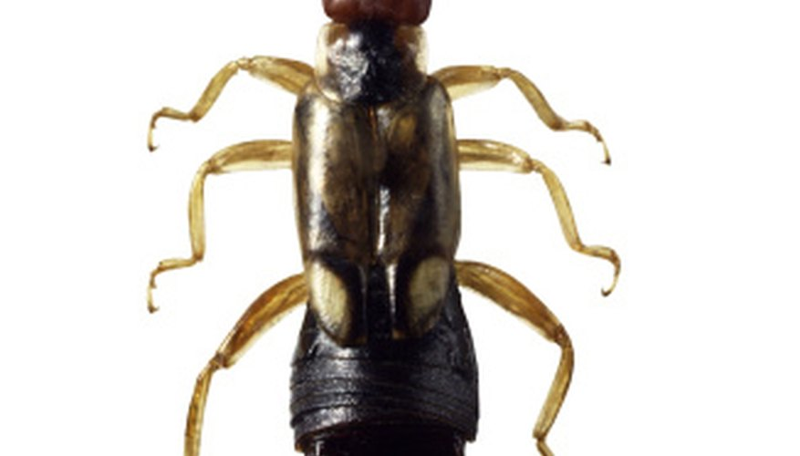 The cerci, or pincers, of male earwigs curve inward toward one another.