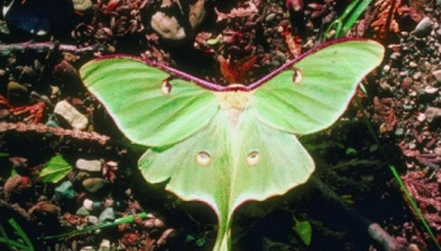 Luna moths are not seen as pests to most.