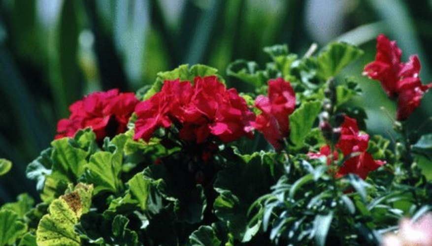 Geraniums keep many types of bugs at bay.