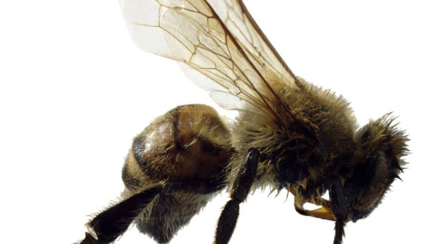The honeybee's stinger cannot protect it from all of its predators.