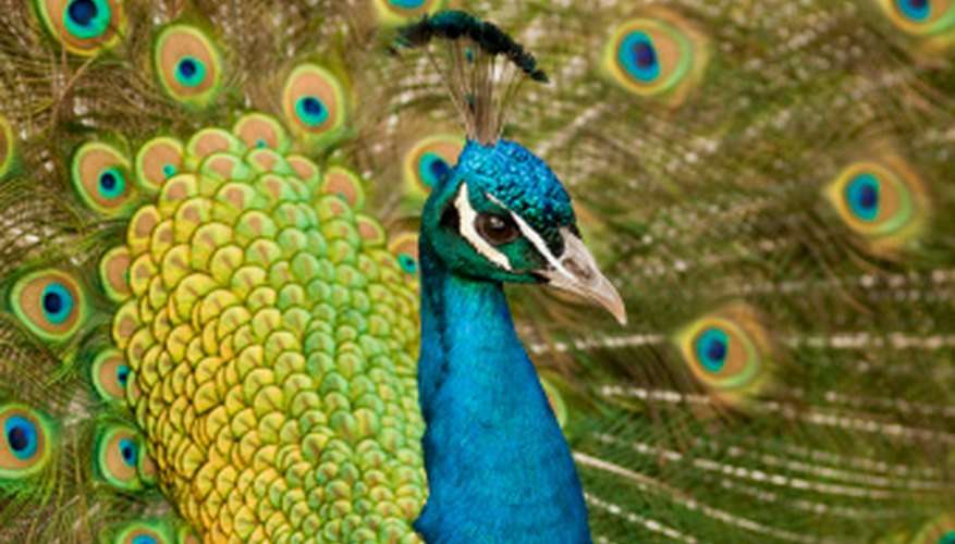It is easy to tell the gender of adult peafowl; it is harder to tell the gender of chicks.