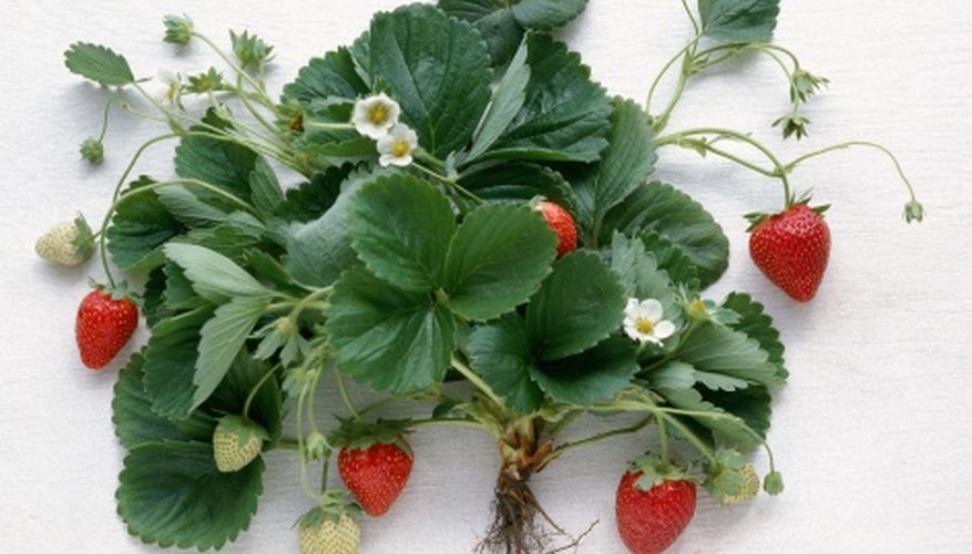 Strawberries prefer a soil pH between 6.0 and 6.5.