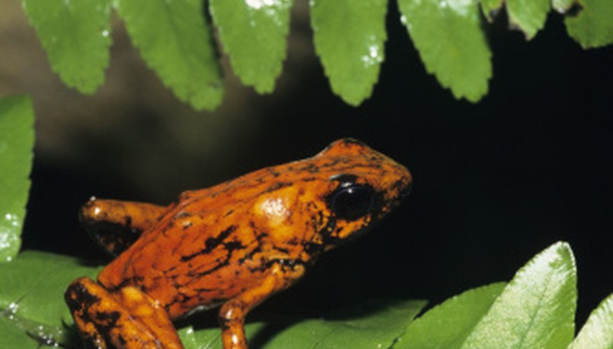 This poison dart frog is among the highly adapted species of the tropical rainforest.