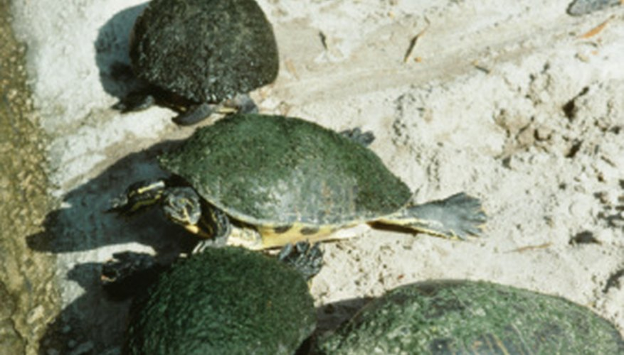 Turtles are generally solitary animals, although large groups come together to spawn.