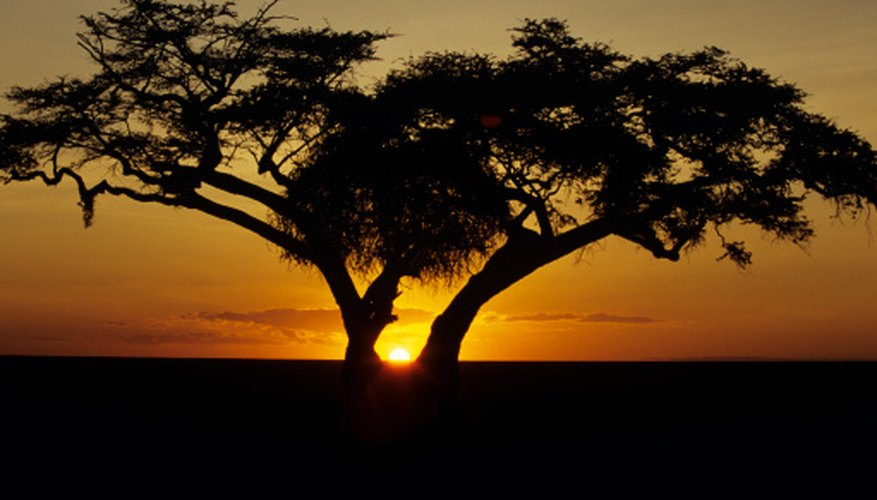Fig trees grow in Africa's savanna grasslands.