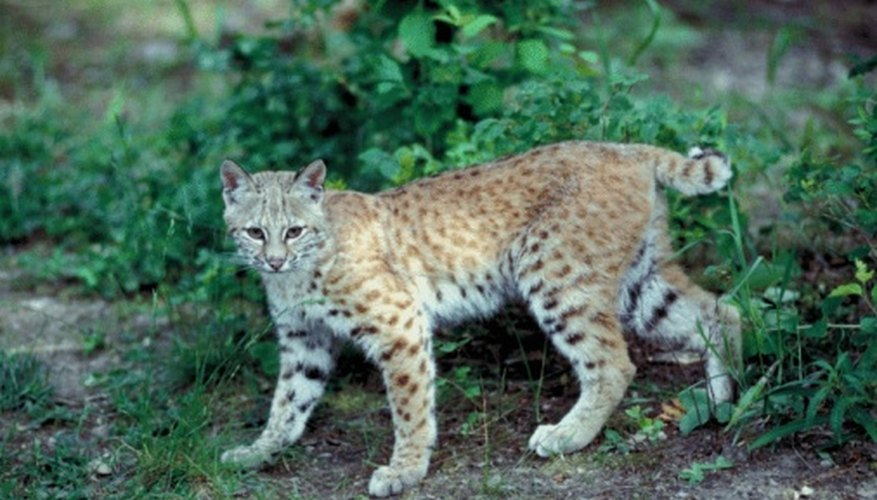 Most bobcats are light brown to reddish brown with a white underbelly.