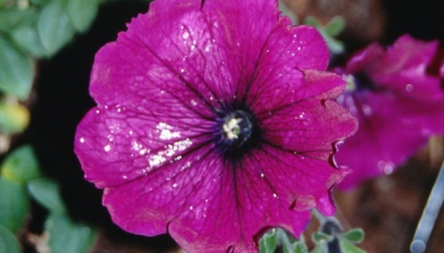 Growing petunias from seeds can be an enjoyable task.