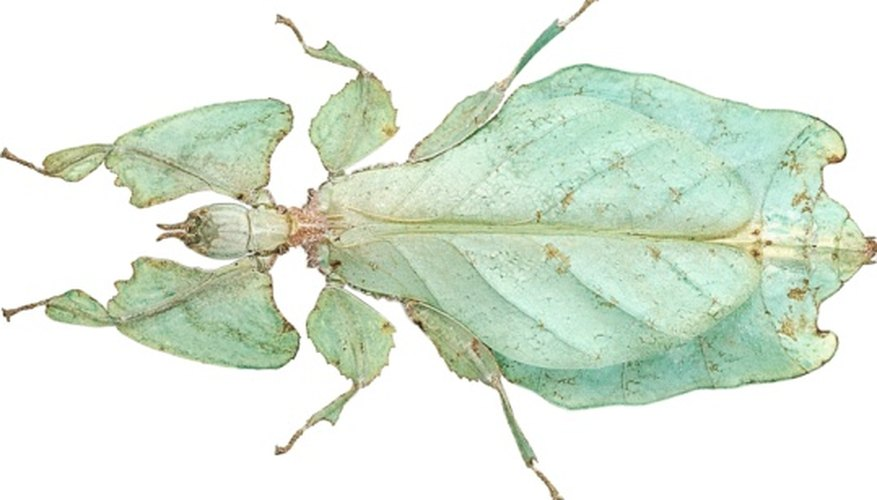 Insects that look like leaves can be found in the rainforest understory.