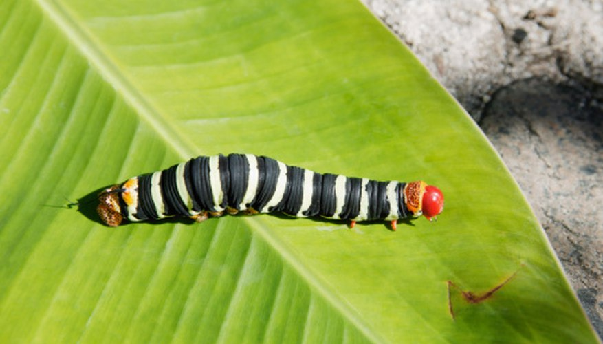 Many different black caterpillars sport red and white stripes or markings.