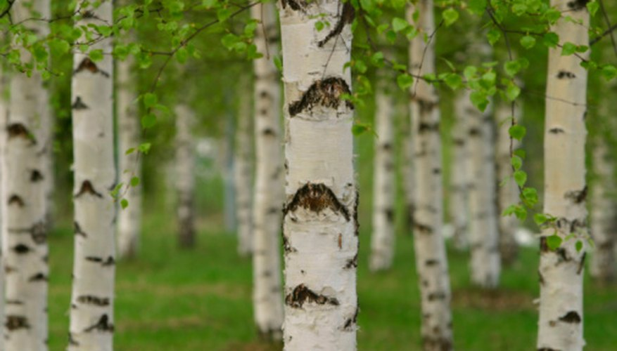 Birch tree wounds allow chaga mushrooms to thrive and grow.