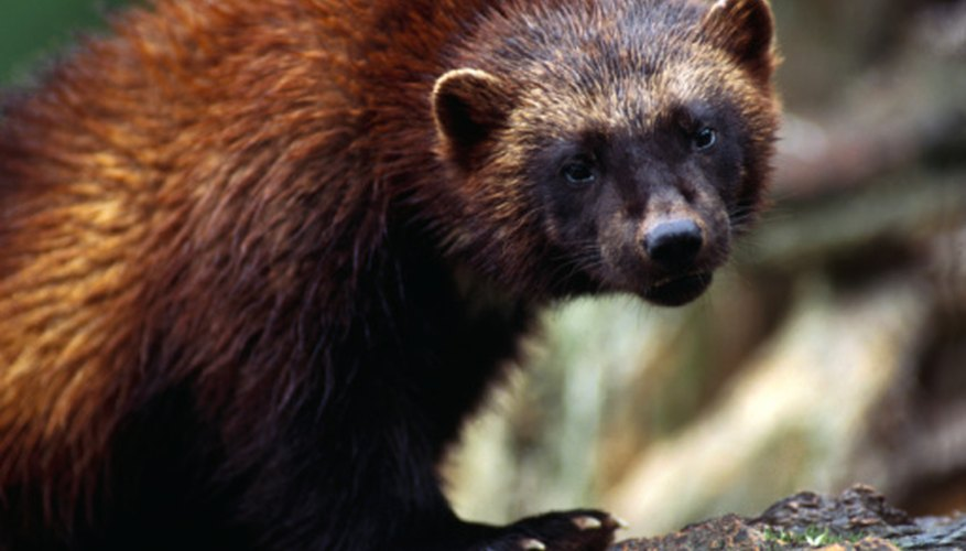 The well-protected dens and lodges of beavers usually deter predators like wolverines.