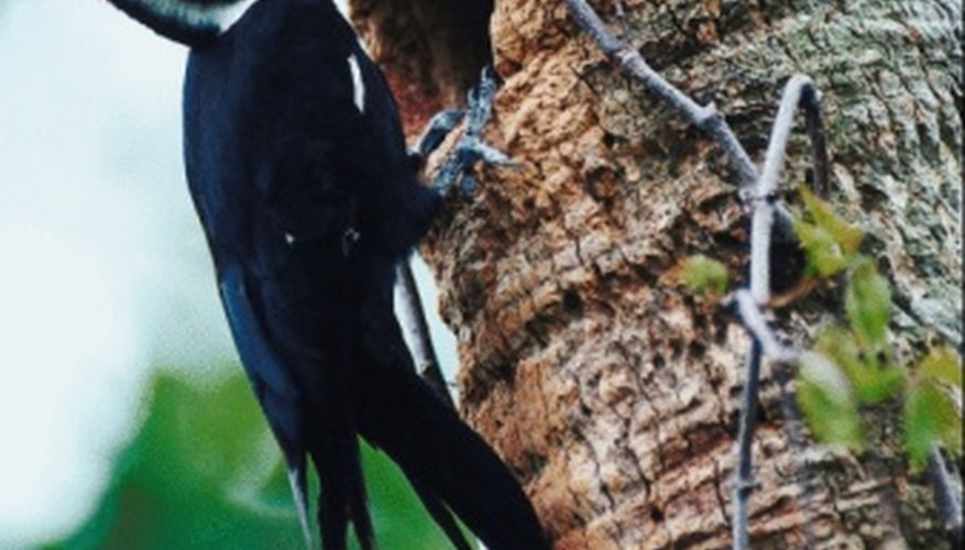 The Pileated Woodpecker is the largest of all woodpecker species.