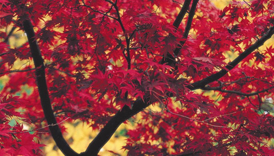 Identify Mississippi trees such as the red maple.