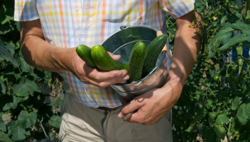 Provide fresh cucumbers for your family right from the balcony.