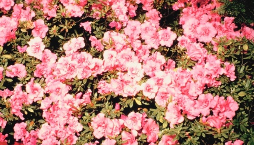 Girard azaleas include about 25 different cultivars.