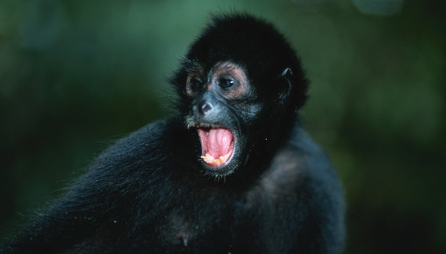 Spider monkeys communicate with a variety of yells and barks.