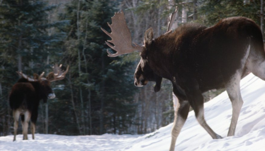 Moose are among the largest primary consumers in a northern coniferous forest.