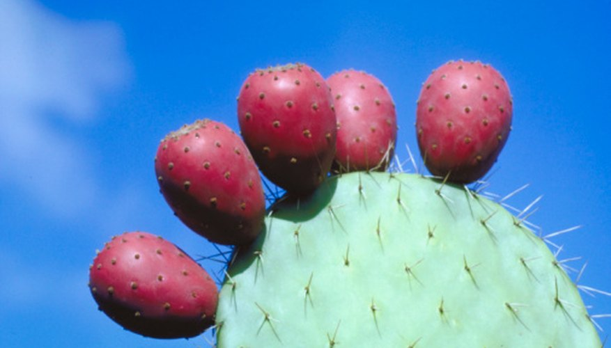 Cactus are succulents but not all succulents are cactus.