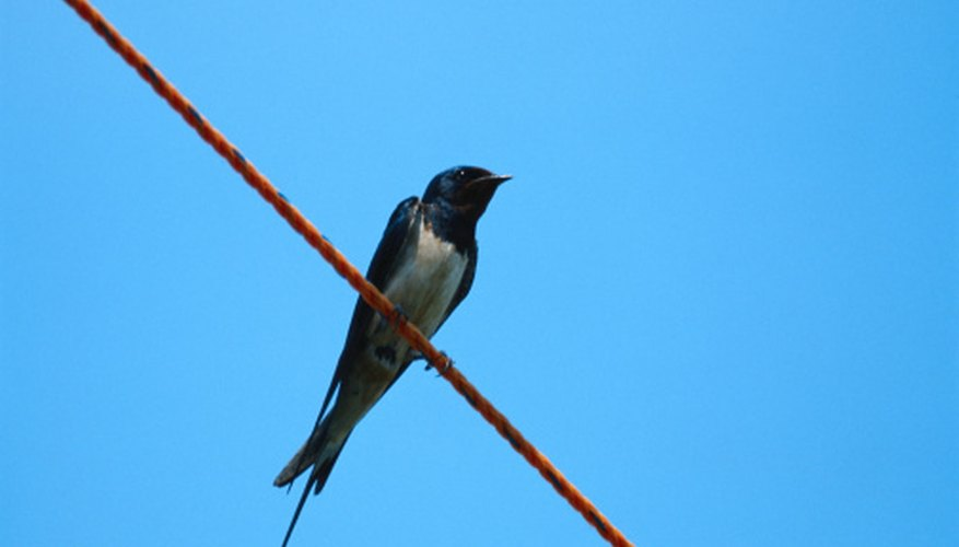 Swallows have a wide range of predators, although they are difficult to catch.