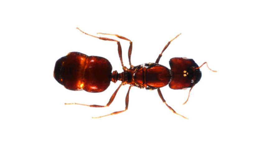 Instead of having lungs, oxygen is absorbed through pores on ant's bodies.