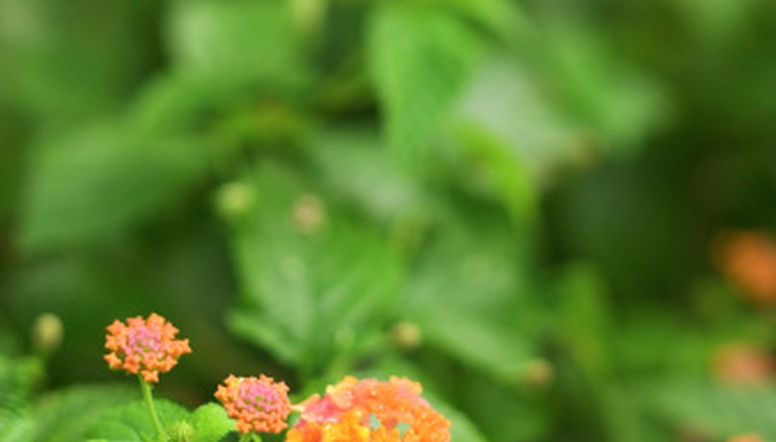 Lantanas are popular ornamentals that are susceptible to a number of insect and mite pests.